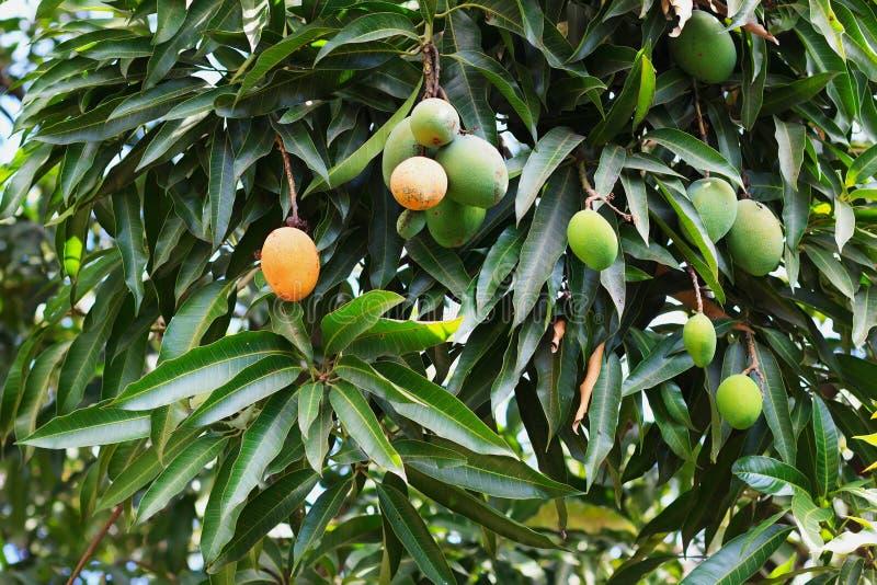 束在树的绿色和橙色成熟芒果在庭院里 库存图片