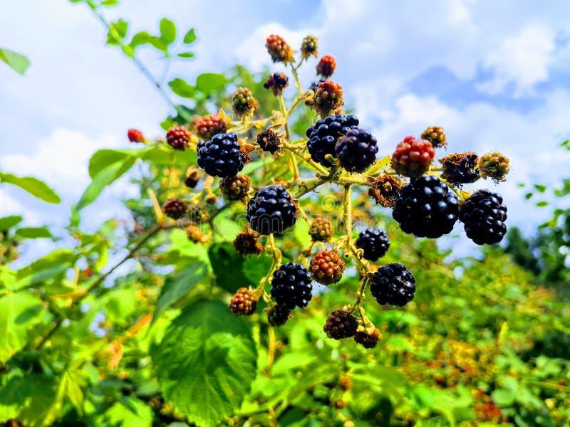 束在灌木的成熟和未成熟的黑莓 免版税库存照片