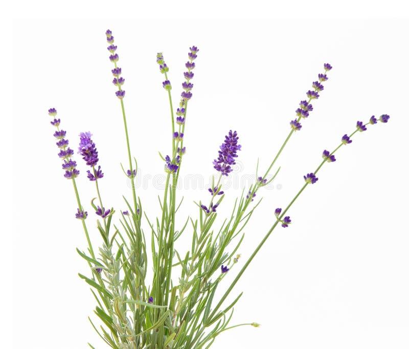 束在白色背景的淡紫色 在葡萄酒样式的植物的例证 免版税库存照片