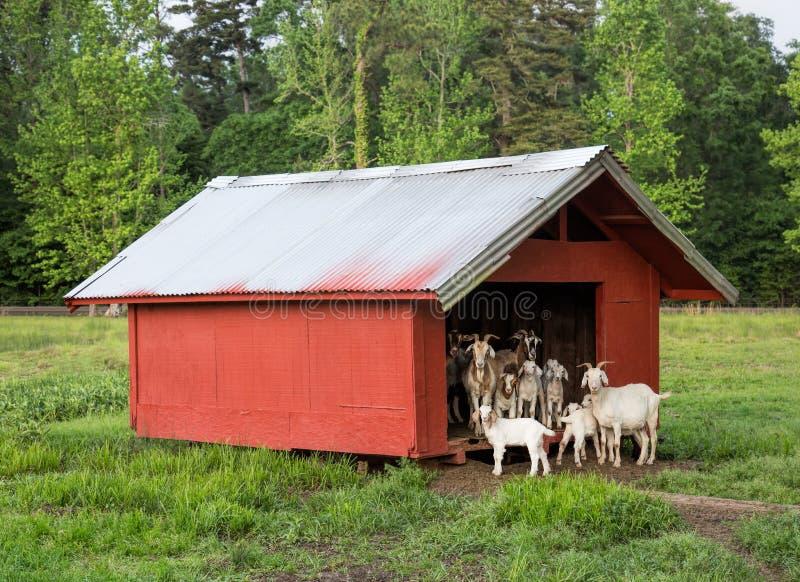 束在看从棚子的农场的山羊 免版税库存图片