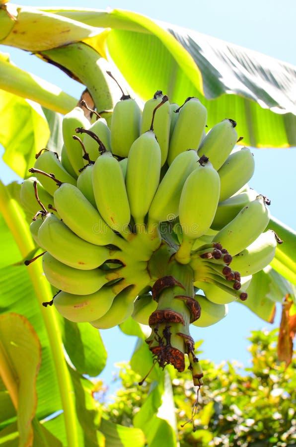 束在结构树的成熟的香蕉 库存图片