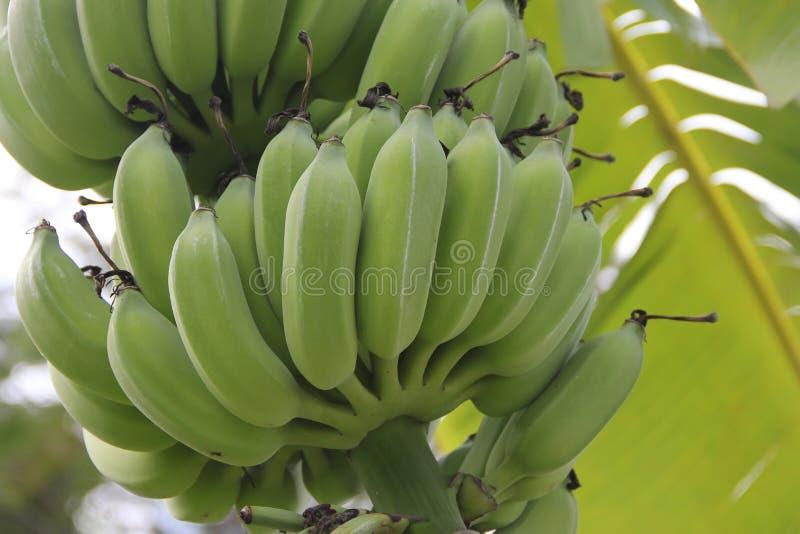束在结构树的绿色香蕉 库存图片