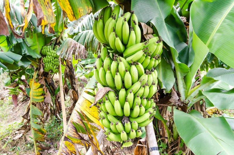 束在结构树的成熟的香蕉 免版税库存图片