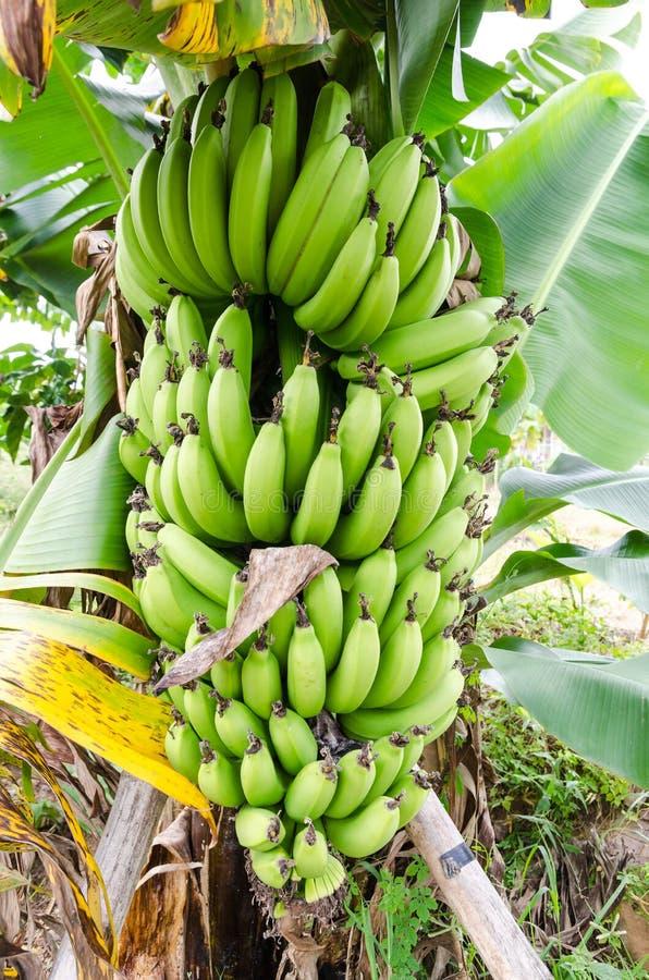 束在结构树的成熟的香蕉 免版税库存照片