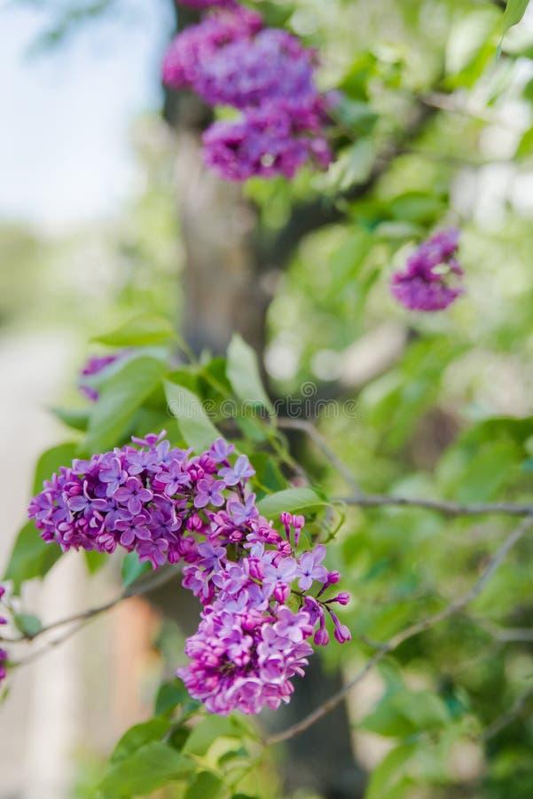 Download 束开花丁香 库存图片. 图片 包括有 照亮, 开花, 本质, 灌木, 可以, 自然, 从事园艺, 丁香, 粉红色 - 72352949