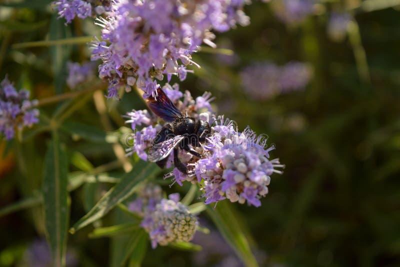 束开花淡紫色 有蜂的淡紫色开花 免版税库存图片