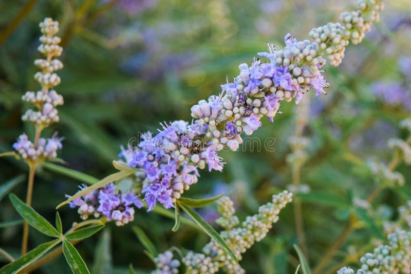 束开花淡紫色 淡紫色开花 库存图片