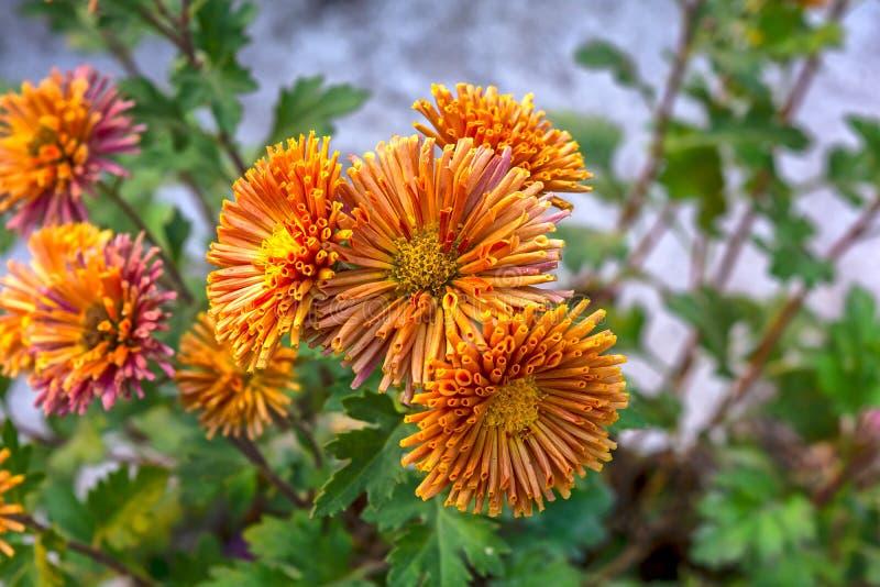 束开花的橘黄色菊花花在一个庭院里有绿色背景 图库摄影
