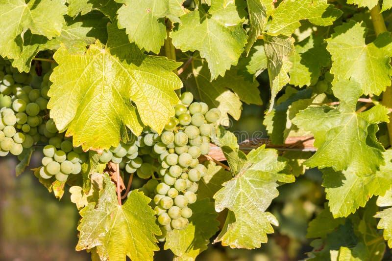 束成熟在藤的长相思葡萄在葡萄园里 免版税图库摄影