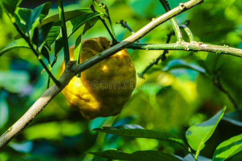 束成熟柠檬 垂悬在树的成熟柠檬 束在一个柠檬树分支的新鲜的成熟柠檬在晴朗的庭院里 免版税库存照片