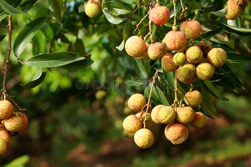 束新鲜的lychee果子在早期的阳光下 库存图片