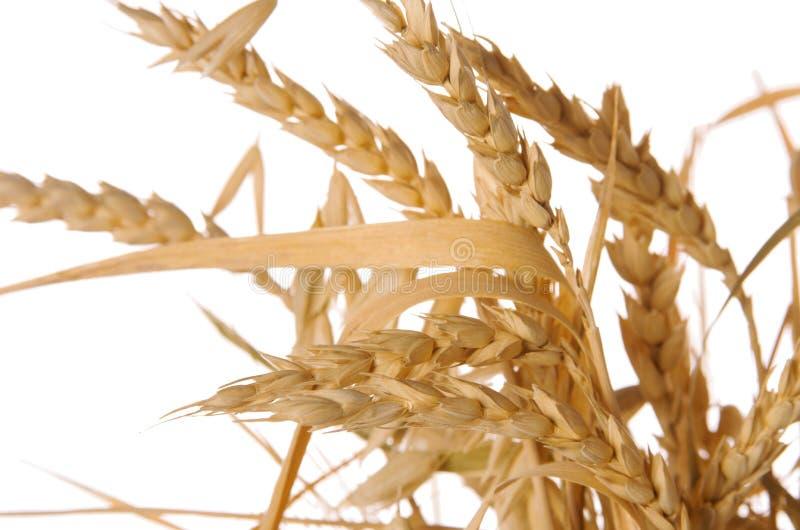 束有叶子的成熟未加工的麦子小尖峰在白色背景隔绝的词根 免版税库存图片
