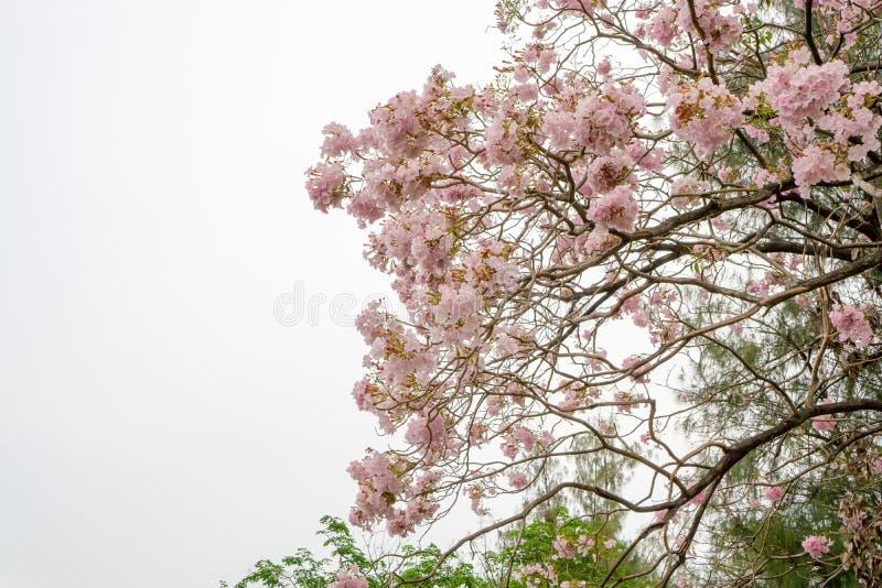 束桃红色喇叭灌木开花的树开花在春天在绿色叶子分支和枝杈,在云彩和天空蔚蓝下 免版税库存照片
