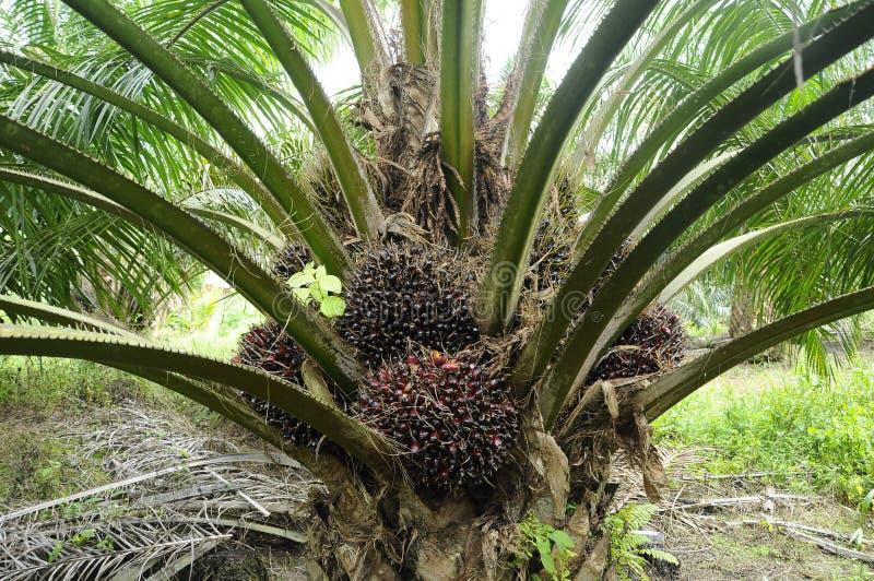 束油棕榈树果子 免版税库存照片