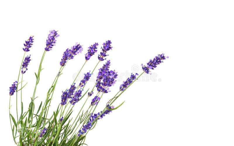 束淡紫色 免版税库存图片