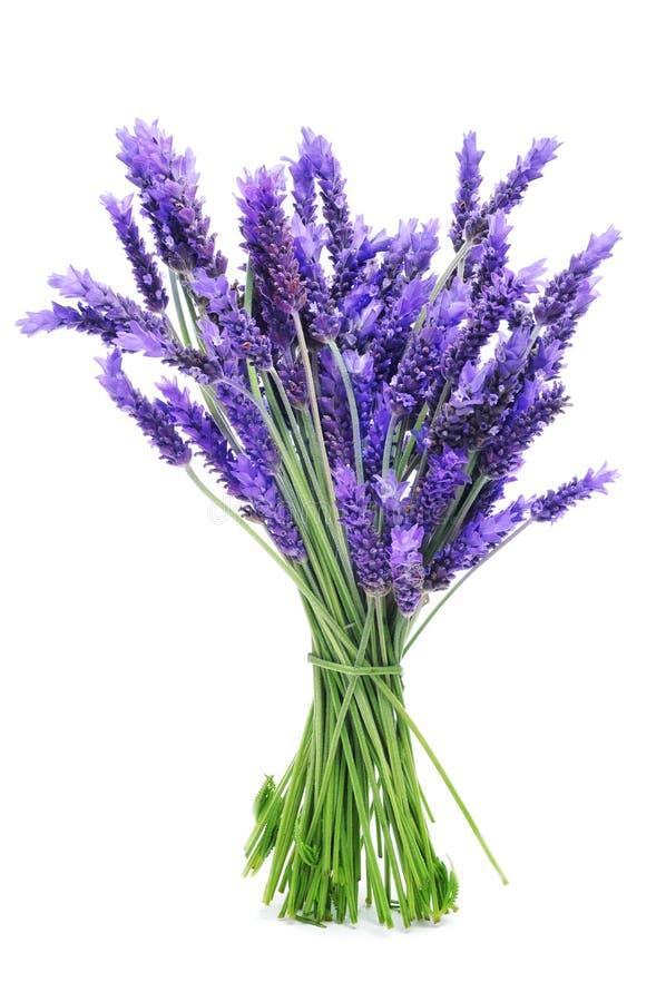 束淡紫色 免版税库存照片