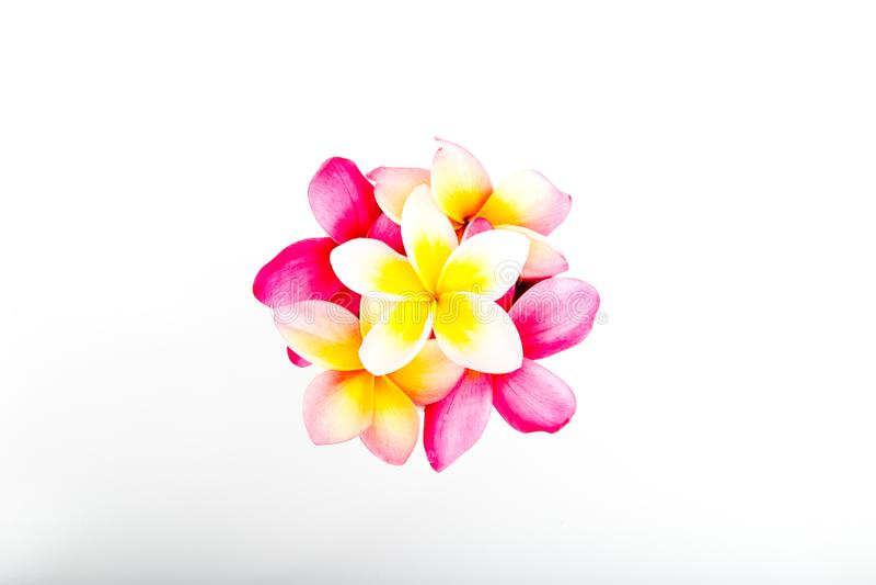 束热带桃红色和黄色赤素馨花开花 库存图片