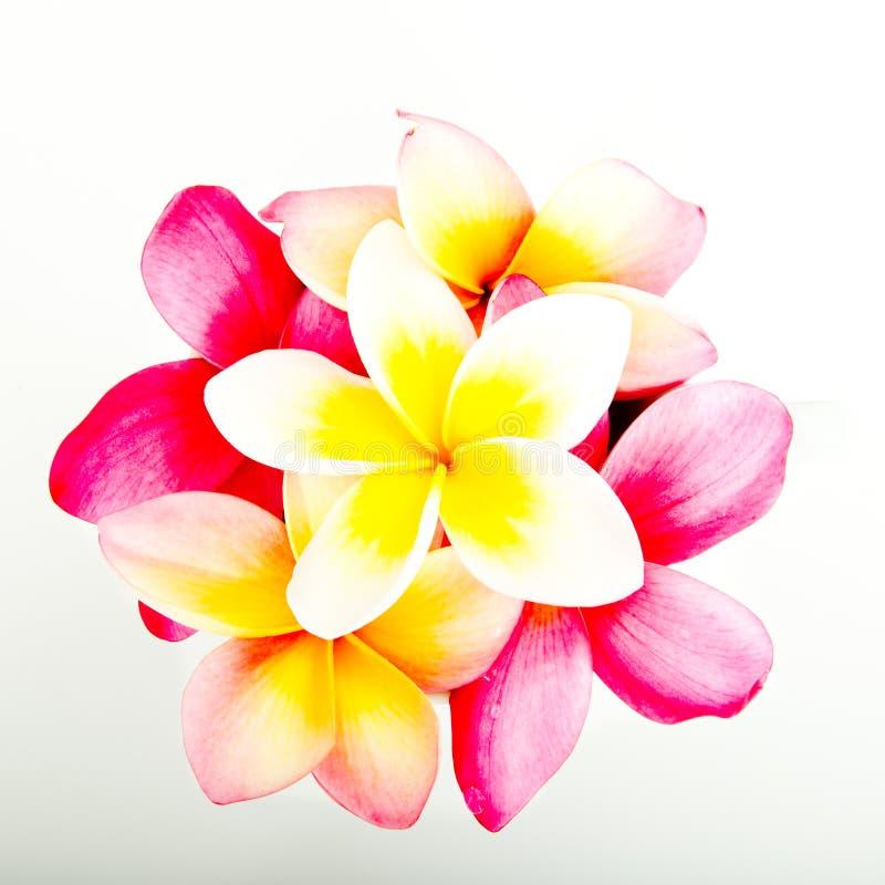 束热带桃红色和黄色赤素馨花开花 库存照片