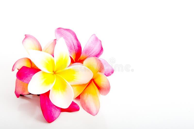 束热带桃红色和黄色赤素馨花开花 免版税库存图片