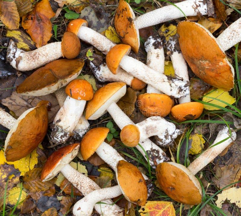束牛肝菌蕈类& x28新鲜的可食的森林蘑菇; Leccinum aurantiacum& x29;说谎在地面上 库存图片