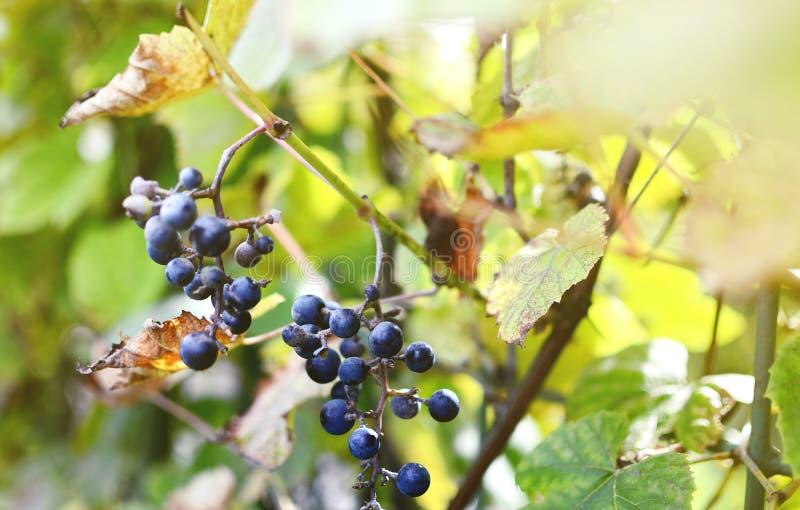 束狂放的红葡萄酒葡萄从一个老藤垂悬 库存照片