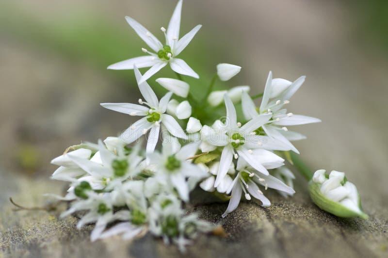 束白色葱属ursinum草本花和叶子在木树桩在角树森林,春天熊大蒜叶子里 库存图片