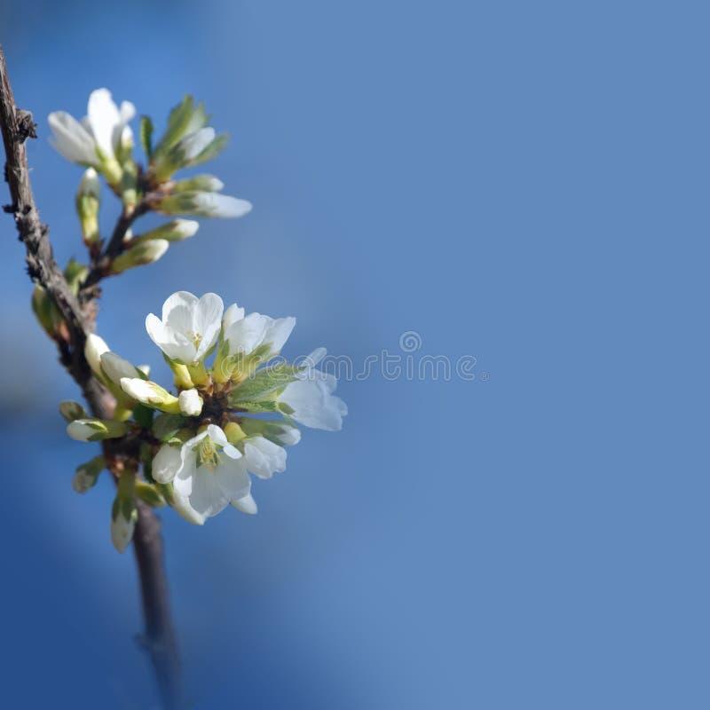 束空白苹果树花 免版税库存照片