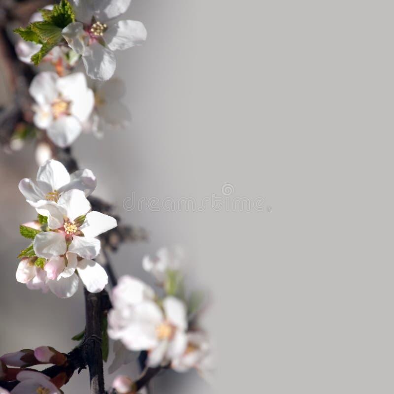 束空白苹果树花 图库摄影