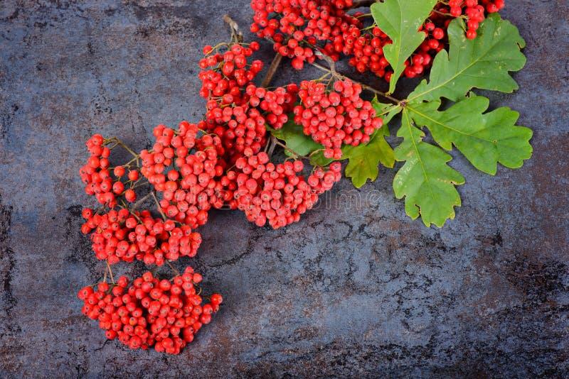 束红色花楸浆果和橡木叶子 库存图片