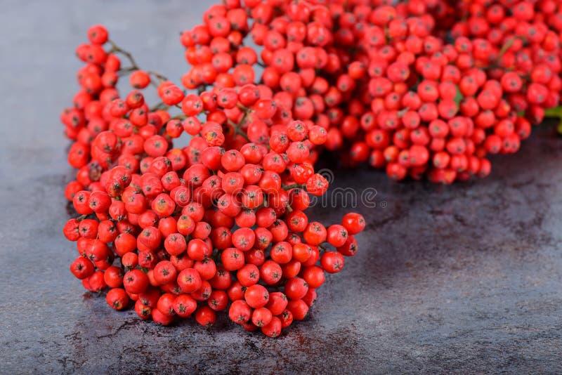 束红色花楸浆果 免版税库存照片