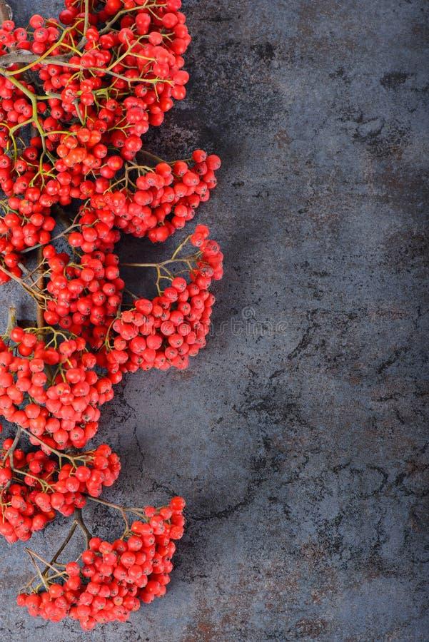 束红色花楸浆果 库存图片