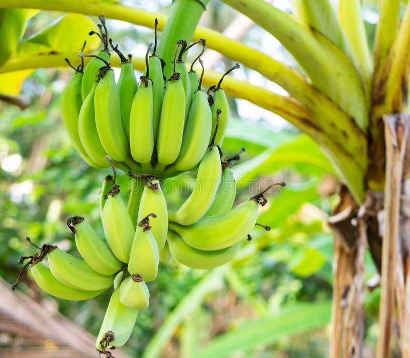 束绿色香蕉生长在一片热带雨林里的,特写镜头 库存照片