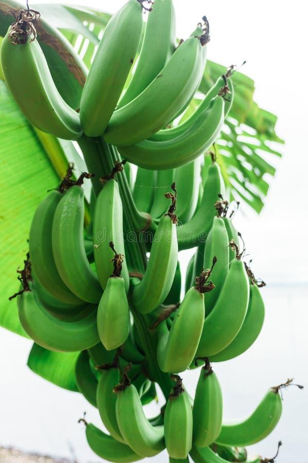 束绿色香蕉 免版税图库摄影