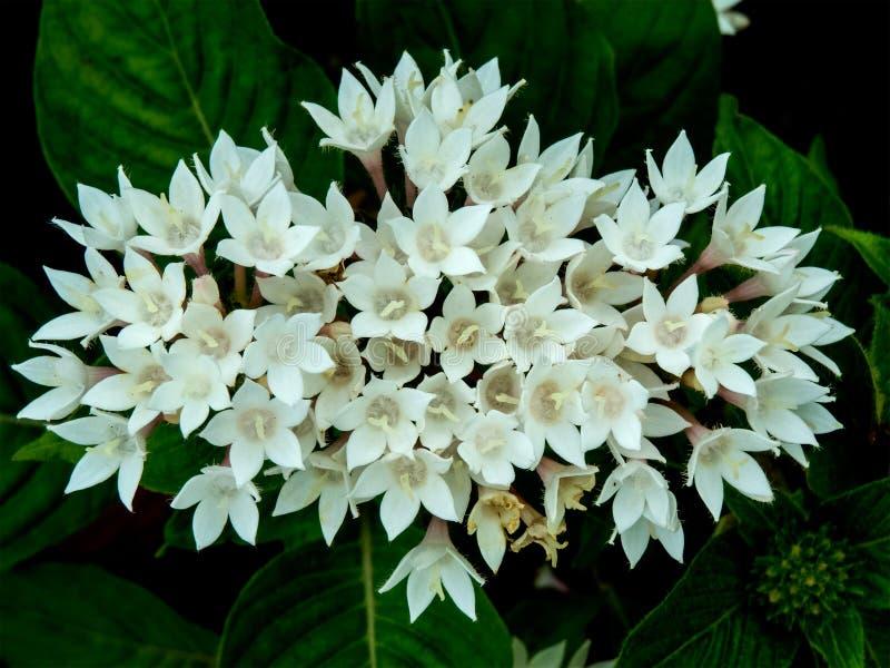 束美丽的小白花开花 免版税库存图片
