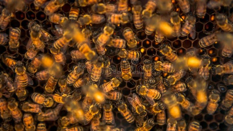 束蜂的特写镜头群集在蜂房的蜂窝的 工作的蜂 库存照片
