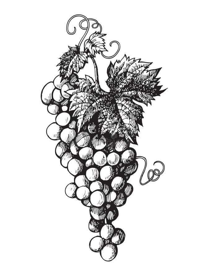 束起拉长的葡萄现有量 库存例证