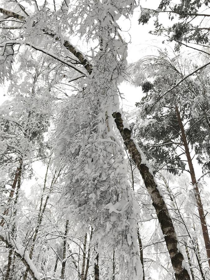 束,在暴风雪的积雪的树 库存图片