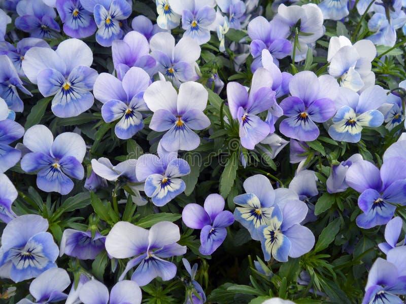 束紫罗兰色蝴蝶花,中提琴开花开花在荷兰的春天 免版税图库摄影