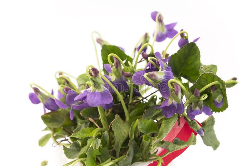 束紫罗兰,中提琴Odorata 库存照片