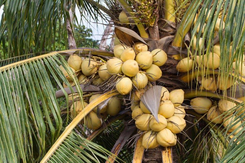 束黄色椰子结果实垂悬在树 库存图片