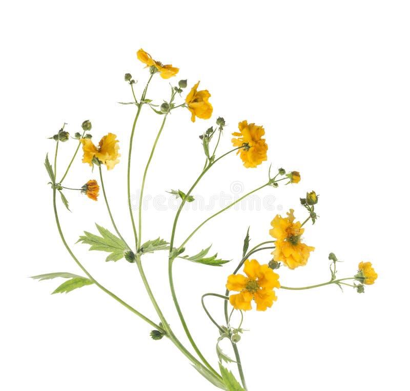 束黄色花,隔绝在白色 免版税库存照片