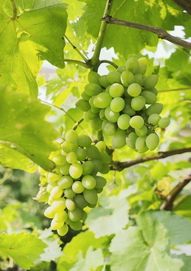 束绿色葡萄在庭院,自然背景里 免版税库存图片