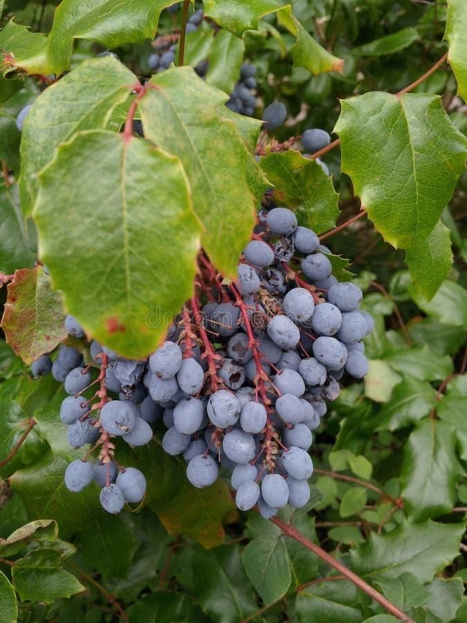 束黑莓果 库存照片