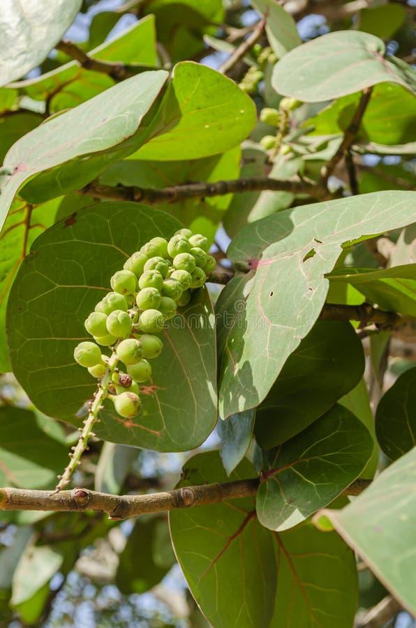束Coccoloba Uvifera果子 库存图片