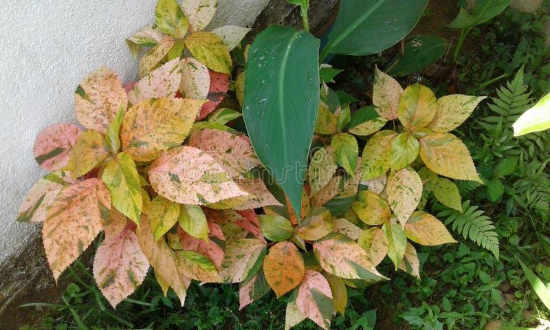 束crotan植物 免版税库存图片