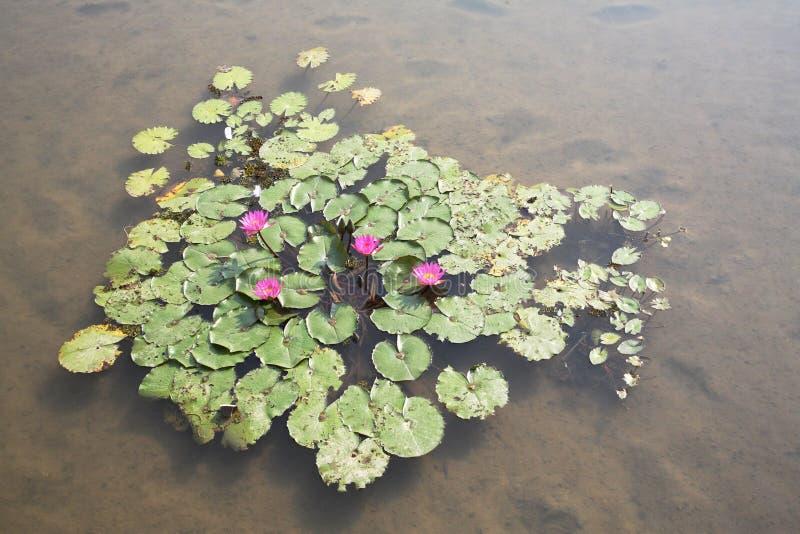 束waterlillies 免版税图库摄影