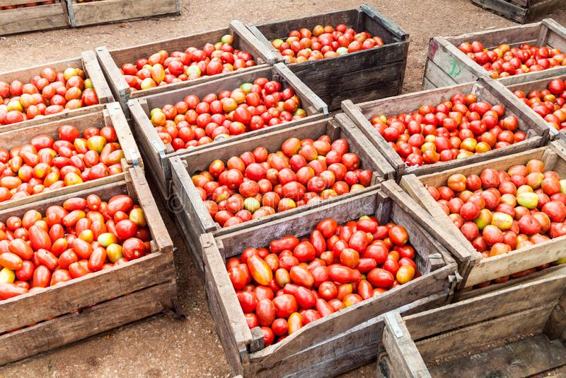 条板箱蕃茄在梅卡度Agropeculario农业市场Hatibonico上在卡马圭,古芝 库存照片