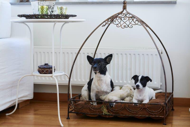 2条狗在家坐他们的地方 免版税库存图片