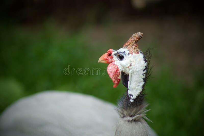 来克亨鸡鸡 免版税库存图片