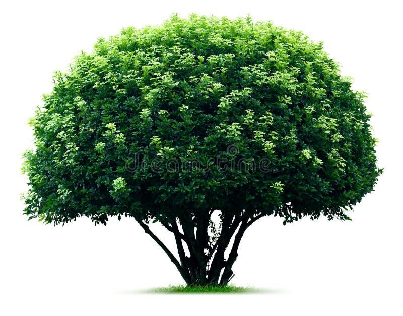 来回结构树 库存图片